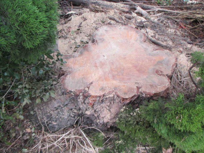 伐採された木の切り株:地面にそのまま残した写真